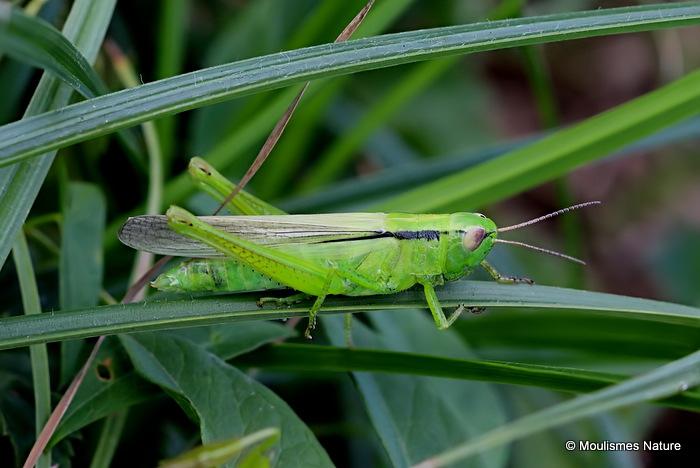 Leek Grasshopper (Mecostethus p. parapleurus ) F