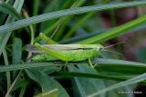 Leek Grasshopper (Mecostethus parapleurus parapleurus ) F