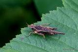Slender Groundhopper (Tetrix subulata) M