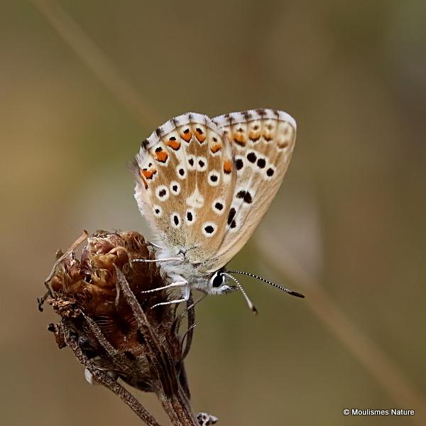 Adonis Blue (Lysandra bellargus) F