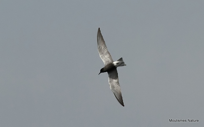Black Tern (Chlidonias niger) Ad-S