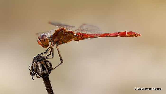 Southern Darter (Sympetrum meridionale) M