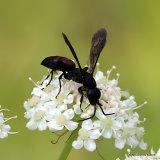 Aporus unicolor (Purseweb Spider-wasp)
