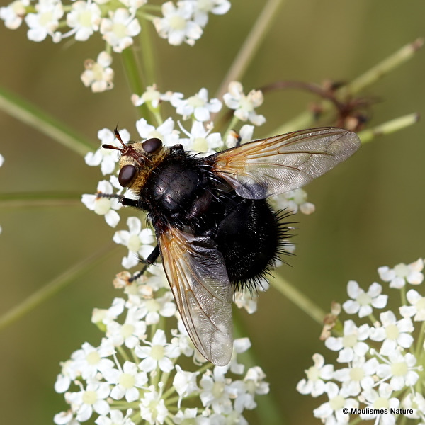 Giant Tachinid Fly (Tachina grossa)