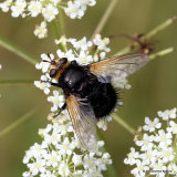 Giant Tachinid Fly (Tachina grossa)