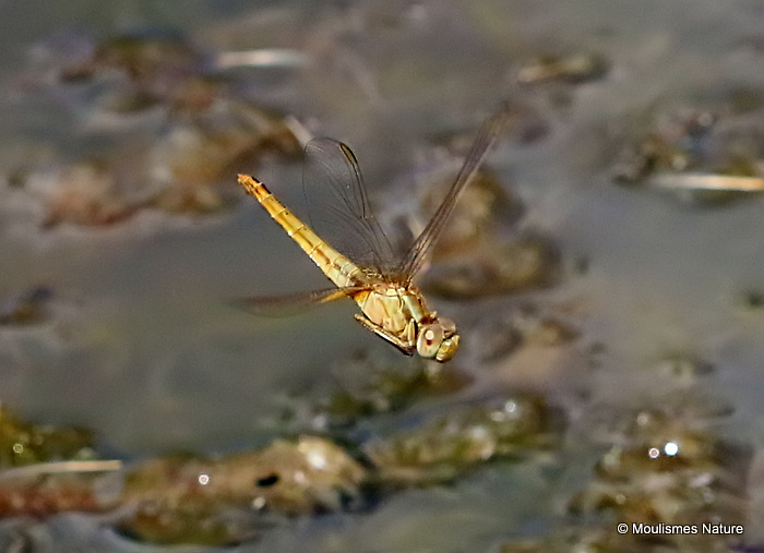 Scarlet Darter (Crocothemis erythraea) F