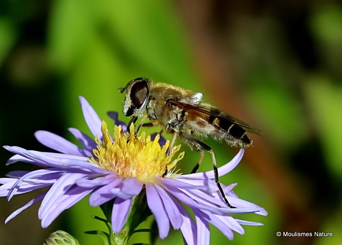 Eristalis similis (Glass-winged Dronefly) F