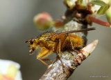 Yellow Dung Fly (Scathophaga stercoraria) M