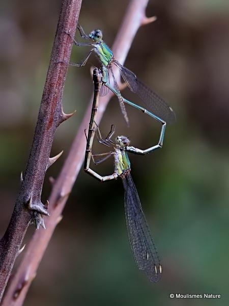 Willow Emerald Damselflies (Lestes viridis)
