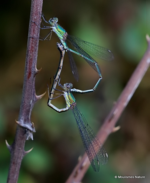 Willow Emerald Damselflies (Lestes viridis)
