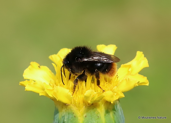 Red-shanked Carder Bee (Bombus ruderarius)