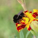 Red-shanked Carder Bee (Bombus ruderarius)