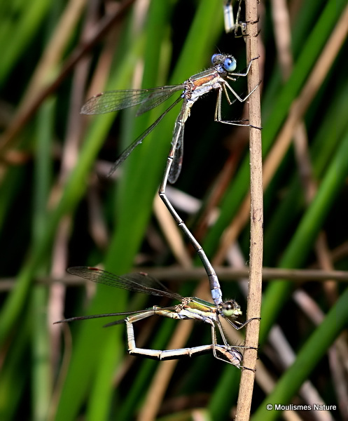 Small Emerald Damselflies (Lestes virens)