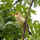 Melodious Warbler (Hippolais polyglotta), Hypolais polyglotte