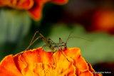 Speckled Bush-cricket (Leptophyes punctatissima) nymph
