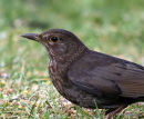 Common Blackbird (Turdus merula) F
