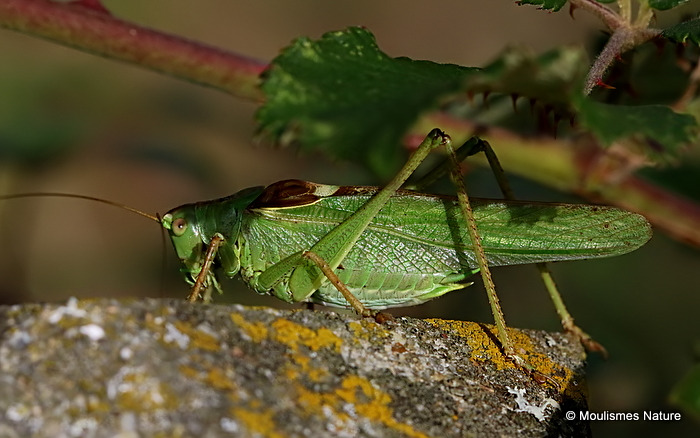 Great Green Bush-cricket (Tettigonia viridissima) M