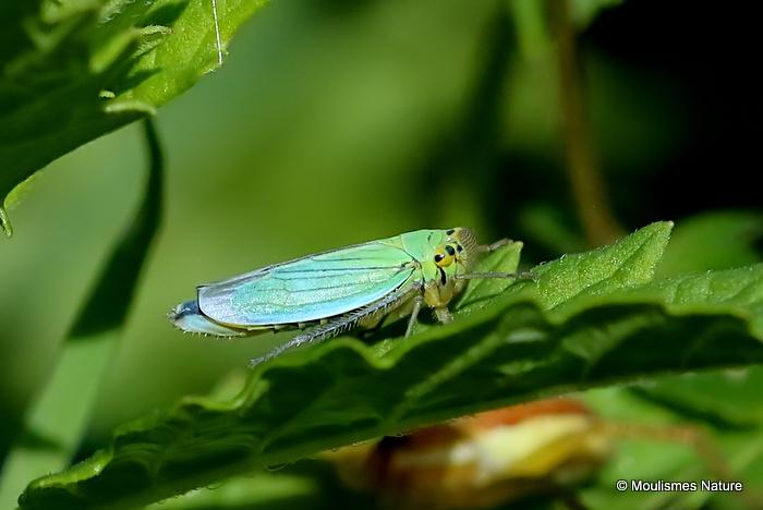 Green Leaf-hopper (Cicadella viridis) F
