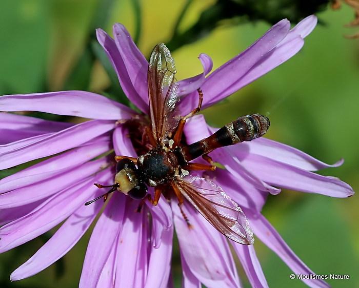 Thick-headed fly sp. Physocephala chrysorrhoea F