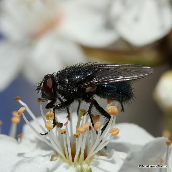 Unidentified diptera sp.