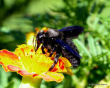 Violet Carpenter Bee (Xylocopa violacea) M