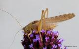 Great Green Bush-cricket (Tettigonia viridissima) M