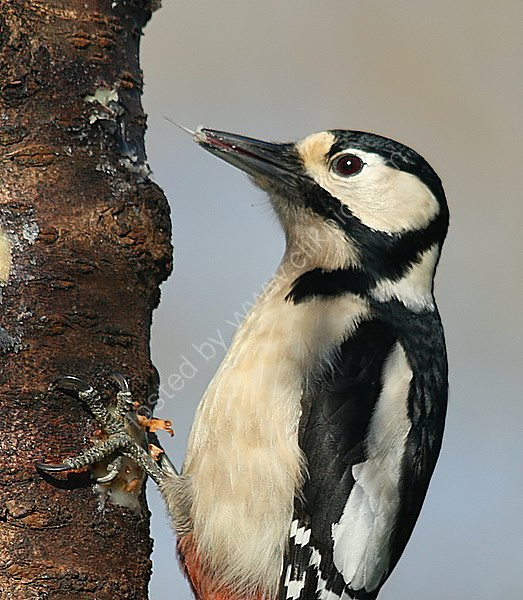 Great Spotted Woodpecker (Dendrocopos major) F