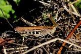 Bow-winged Grasshopper (Chorthippus biguttulus) F