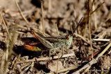 Bow-winged Grasshopper (Chorthippus biguttulus) M