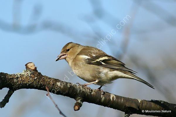 Common Chaffinch (Fringilla coelebs) F