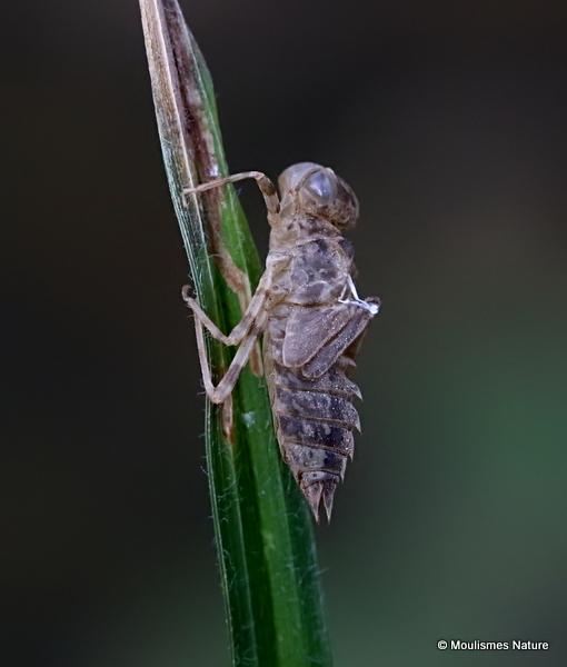 *Violet Dropwing (Trithemis annulata)
