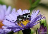 Variegated cuckoo-bee sp. Epeolus fallax