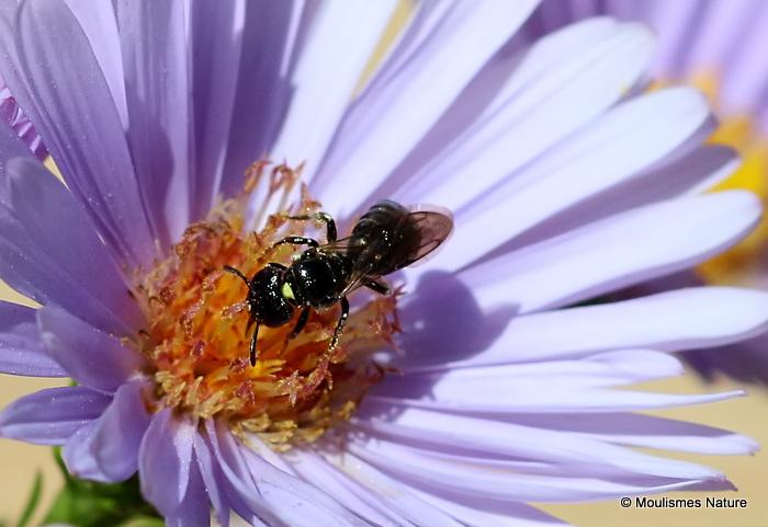 Small carpenter bee sp. Ceratina cucurbitina F