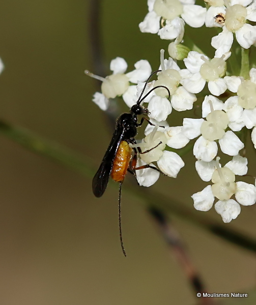 Atanycolus sp. (Braconid wasp sp.) F