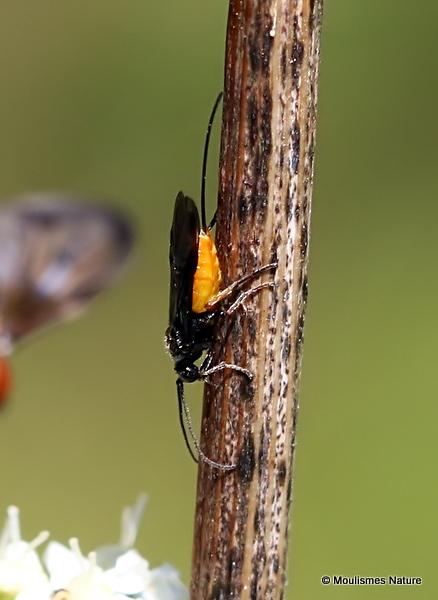 Atanycolus sp. (Braconid wasp sp.) F