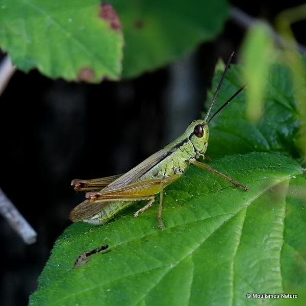 Leek Grasshopper (Mecostethus p. parapleurus) M