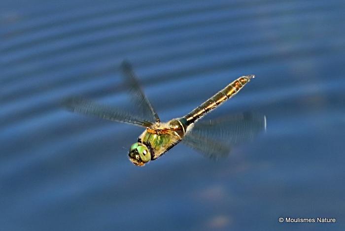 Downy Emerald (Cordulia aenea) F