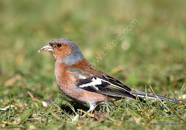 Common Chaffinch (Fringilla coelebs) M