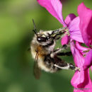 Hairy-footed Flower Bee (Anthophora plumipes) F