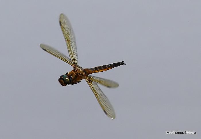 Baskettail (Epitheca bimaculata) M