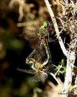 Downy Emeralds (Cordulia aenea)
