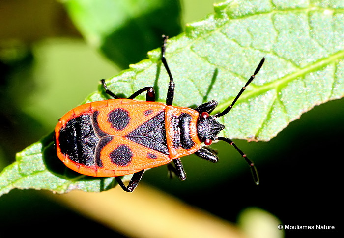 Fire Bug (Pyrrhocoris apterus)