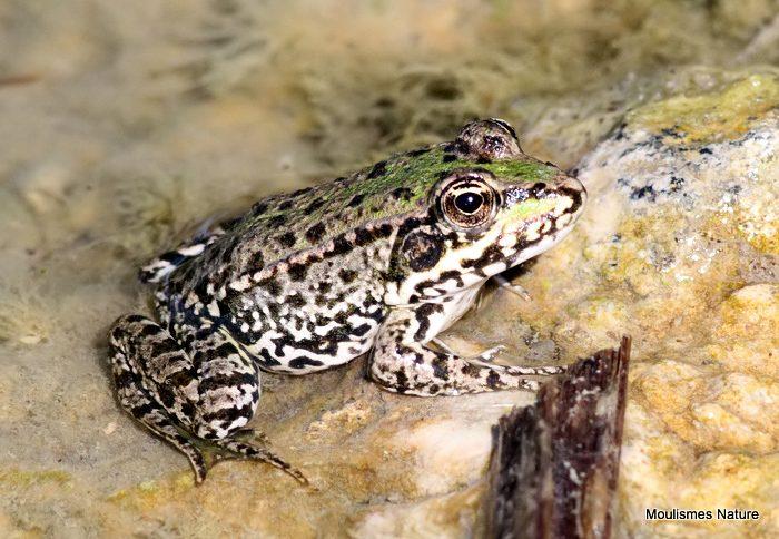 Edible Frog (Rana kl. esculenta)