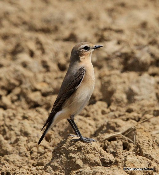 Northern Wheatear (Oenanthe oenanthe) F, Traquet motteux