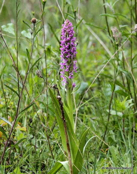 Early Marsh Orchid (Dactylorhiza incarnata)