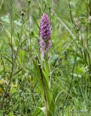 Early Marsh Orchid (Dactylorhiza incarnata)