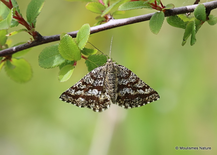 Common Heath (Ematurga atomaria) F