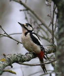 Great Spotted Woodpecker (Dendrocopos major) F#2