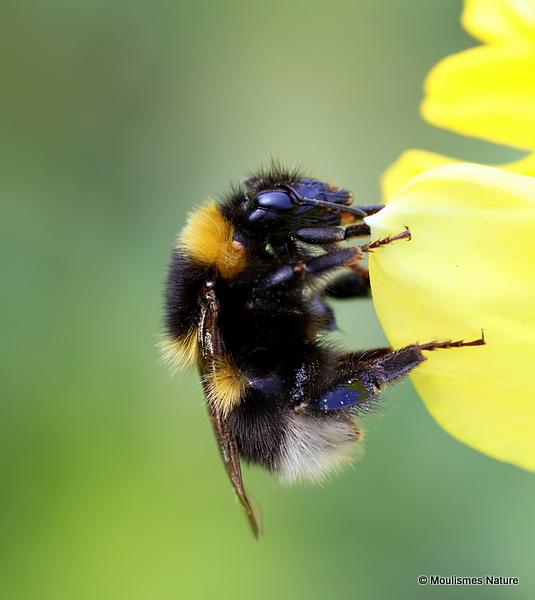 Garden bumblebee (Bombus hortorum)