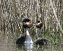Great Crested Grebes (Podiceps cristatus) Ad-S